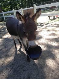 Funny Donkey Memes - my miniature donkey when he wants food meme guy
