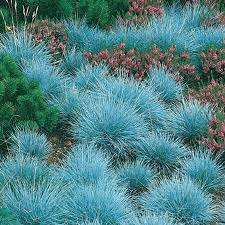 elijah blue festuca excellent as a groundcover or accent plant