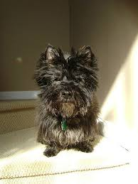 brindle cairn haircut 589 best cairn terriers images on pinterest cairn terrier cairn