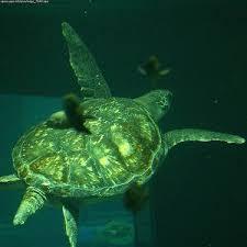 imagenes tortugas verdes tortuga verde chelonia mydas la tortuga marina más abundante del