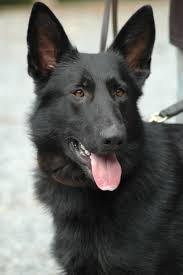 belgian shepherd for sale philippines 57 best dog u0027s images on pinterest animals dogs and puppies