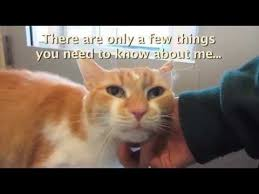White Cat Meme - mickey 12 year old male orange white tabby cat youtube