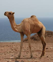 dromedary camels and mers global health jama the jama network