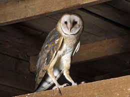 Scientific Name Of Barn Owl Barn Owl Nebraska Bird Library