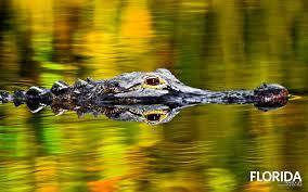 alligator point florida walldevil