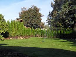 Backyard Trees Landscaping Ideas by Planting Cedar Hedges In Vancouver Abbotsford Cedar Tree Siding