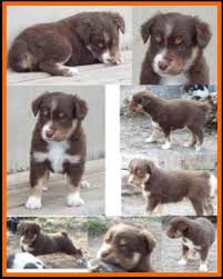 4 week old australian shepherd bandit u0027s spring litter 1 pup4 bet blue eyed red tri male