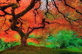 japanese maple tree in autumn photograph by david gn