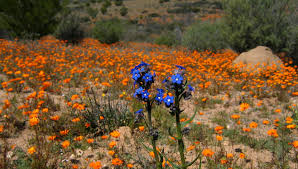 South African Wild Flowers - your guide to the south african spring wildflowers travelground blog