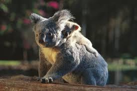 8 koala facts
