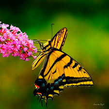 tiger swallowtail butterfly photograph by slagle