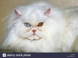 albino cat with odd coloured eyes this long haired white persian