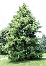 california christmas tree cedrus deodara christmas decore