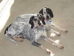 bluetick coonhound kennels in tennessee 51 best bluetick coonhound images on pinterest bluetick