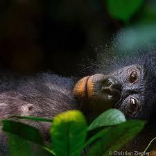 siege social bonobo 11 best press photo images on press photo