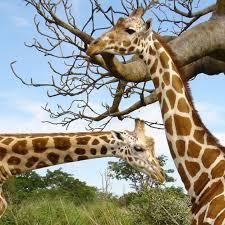 giraffes daily giraffesdaily twitter