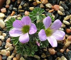 131 best oxalis images on pinterest bulb bulbs and lamps