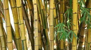 balkon bambus sichtschutz sichtschutz aus bambus kübelpflanze als lösung