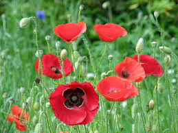 poppies flowers flower facts poppy papaver orientale grower