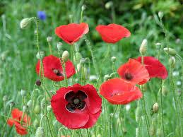 flower facts poppy papaver orientale grower