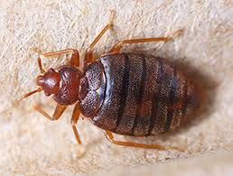 How Long Can Bed Bugs Live Without Air Bed Bugs And Mattresses Faq