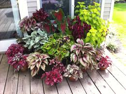 shade lovers coleus rex begonia and caladium indoor plants