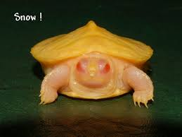 Blind Turtle Prices Snow Albino Red Eared Sliders For Sale From The Turtle Source
