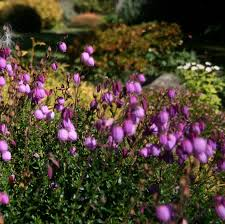 native irish plants callunas ericas daboecias oh my demystifying the different