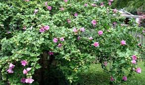 Which State Has A Hibiscus by How To Grow Hibiscus Today U0027s Homeowner