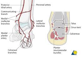 Foot Vascular Anatomy Talus Diagnosis Talus Displaced Neck Fractures Ao Surgery