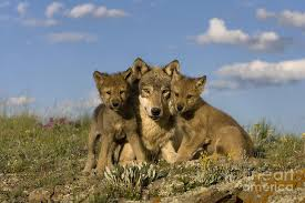 gray wolf and cubs photograph by jean louis klein luce hubert