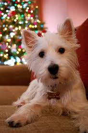 madison the west highland terrier puppies pinterest west