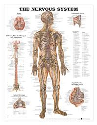 Dog Anatomy Poster Human Anatomy Anatomy Chart May Be Labeled With The Medical