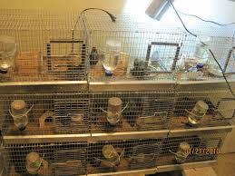 Backyard Quail Pens And Quail Housing by Button Quail Can You Share Your Breeding Set Ups Backyard Chickens