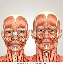 Male And Female Anatomy 3d Male Face Muscles Anatomy Side Stock Illustration 417184504
