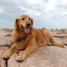 Comfort Retrievers For Adoption Home Golden Retrievers In Need Rescue Service Inc