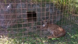 big cat rescue