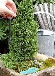 miniature garden plant focus the pixie dust dwarf spruce the