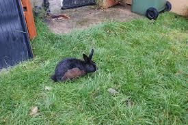 rabbit u0027s fur color change rabbits bunnies bunny animals