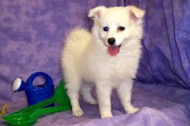 american eskimo dog small delectable toy american eskimo dog australia dog toys toy american