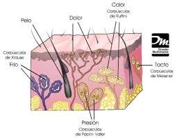 significado de imagenes sensoriales wikipedia las sensaciones los órganos de los sentidos página 2
