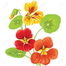 nasturtium flowers three flowers of nasturtium royalty free cliparts vectors and