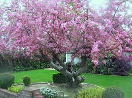 stunning flowering crabapple tree