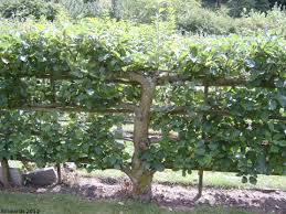 Blackmoor Fruit Trees - espalier summer pruning espalier fruit trees fruit trees and
