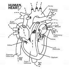 brain anatomy coloring book anatomy heart drawing images learn human anatomy image