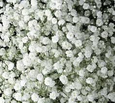 Baby S Breath Wholesale Wholesale Flowers Bulk Flowers Wedding Flowers U2013 Jrroses Com
