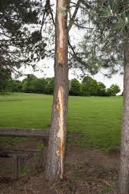 assessing lightning damage in trees how to save a tree hit by