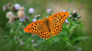 what was the original name for the butterfly reference com