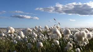 where did cotton originate from reference