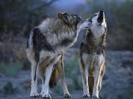 imagenes de fondo de pantalla lobos descargar la imagen en teléfono animales lobos gratis 29548